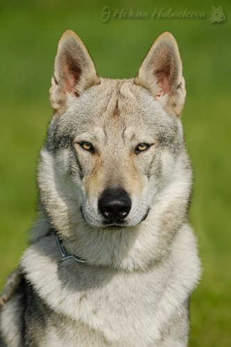 Can A Wolf And Dog Breed