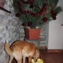 hrabem sa starymi fotkami. tuto mal pes stedrovecernu veceru pod vlastnym stromcekom (:  kto je viac (: