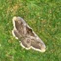 mega motýl
