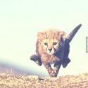 gepardik bezka