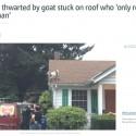 kto dal tu kozu na strechu tomasovej vily, priznajte sa!