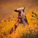 včera som v rakusku odfotil mláda horskej kozy divokej , zlaté bolo