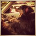 pes za volantom