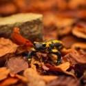 Salamandra škvrnitá, náhodou som na nu v lese natrafil , videl som ju naživo asi 2krát v živote