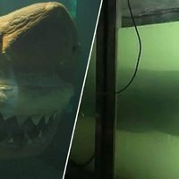 Rosie The Dead Great White Shark Abandoned In Aquarium Finds New Home ...
